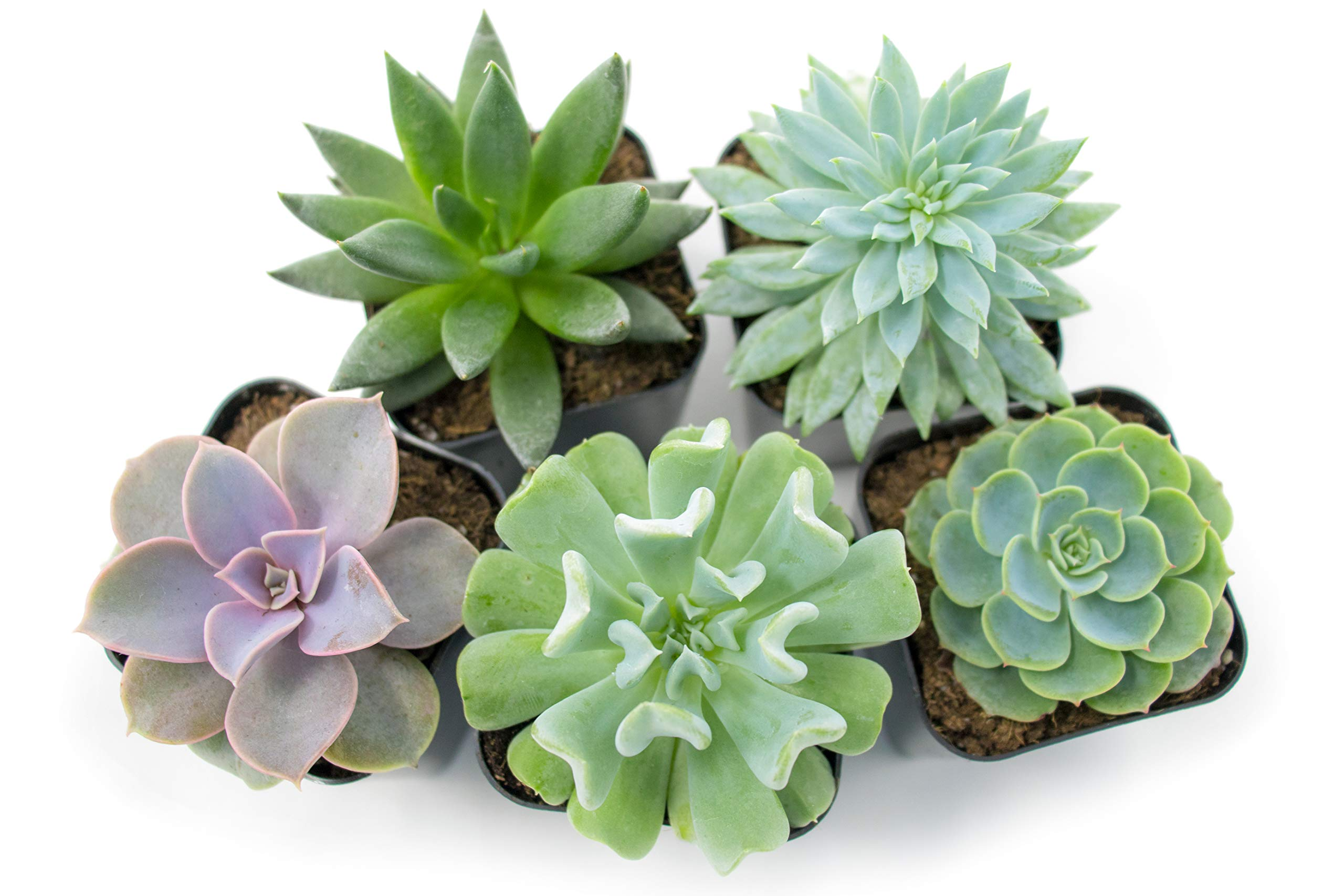Succulent Plants (5 Pack), Fully Rooted in Planter Pots with Soil -  Real Live Potted Succulents / Unique Indoor Cactus Decor by Plants for Pets 3 HAND SELECTED: Every pack of succulents we send is hand-picked. You will receive a unique collection of species that are FULLY ROOTED IN 2 INCH POTS, which will be similar to the product photos (see photo 2 for scale). Note that we rotate our nursery stock often, so the exact species we send changes every week. THE EASIEST HOUSE PLANTS: More appealing than artificial plastic or fake faux plants, and care is a cinch. If you think you can't keep houseplants alive, you're wrong; our succulents don't require fertilizer and can be planted in a decorative pot of your choice within seconds. DIY HOME DECOR: The possibilities are only limited by your imagination; display them in a plant holder, a wall mount, a geometric glass vase, or even in a live wreath. Because of their amazingly low care requirements, they can even make the perfect desk centerpiece for your office.