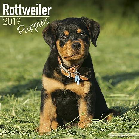 rottweiler puppies calendar dog breed calendars 2018 2019 wall