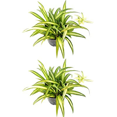 Hawaiian Spider Plant - Combo Deal of Two Plants : Garden & Outdoor