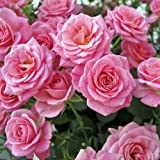 The 'Garden Glamour' Repeat Flowering Rose Collection 5 Varieties