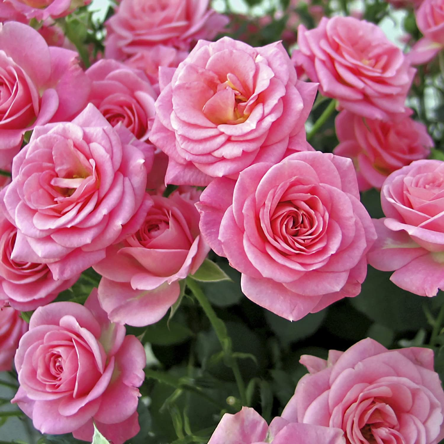 The 39 garden glamour 39 repeat flowering rose collection 5 varieties ebay - Rose cultivars garden ...
