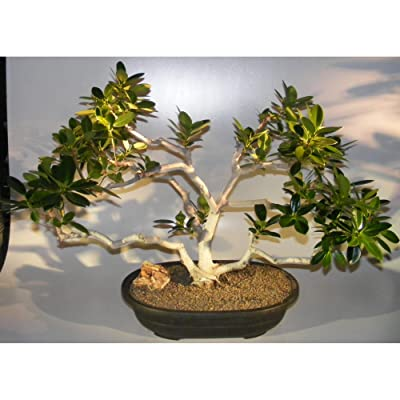 Fruiting Green Emerald Ficus Bonsai Tree (ficus microcarpa) : Garden & Outdoor