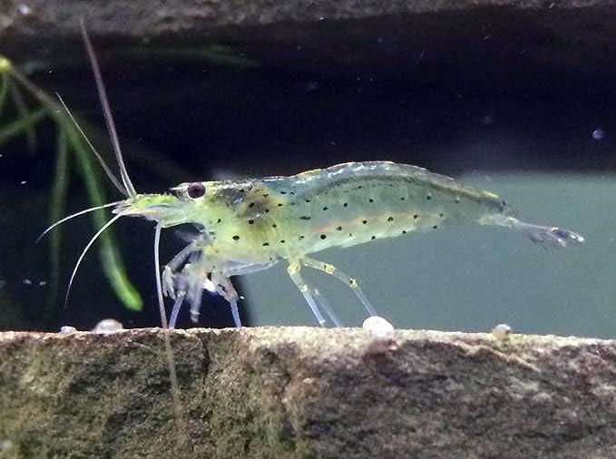 5 Live Amano Shrimp (Caridina multidentata, aka Yamato shrimp)