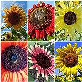 Sonnenblumen Mix - 5 Arten - je 10 Samen - Höhe : bis zu 3,50 m - sortenrein verpackt !!