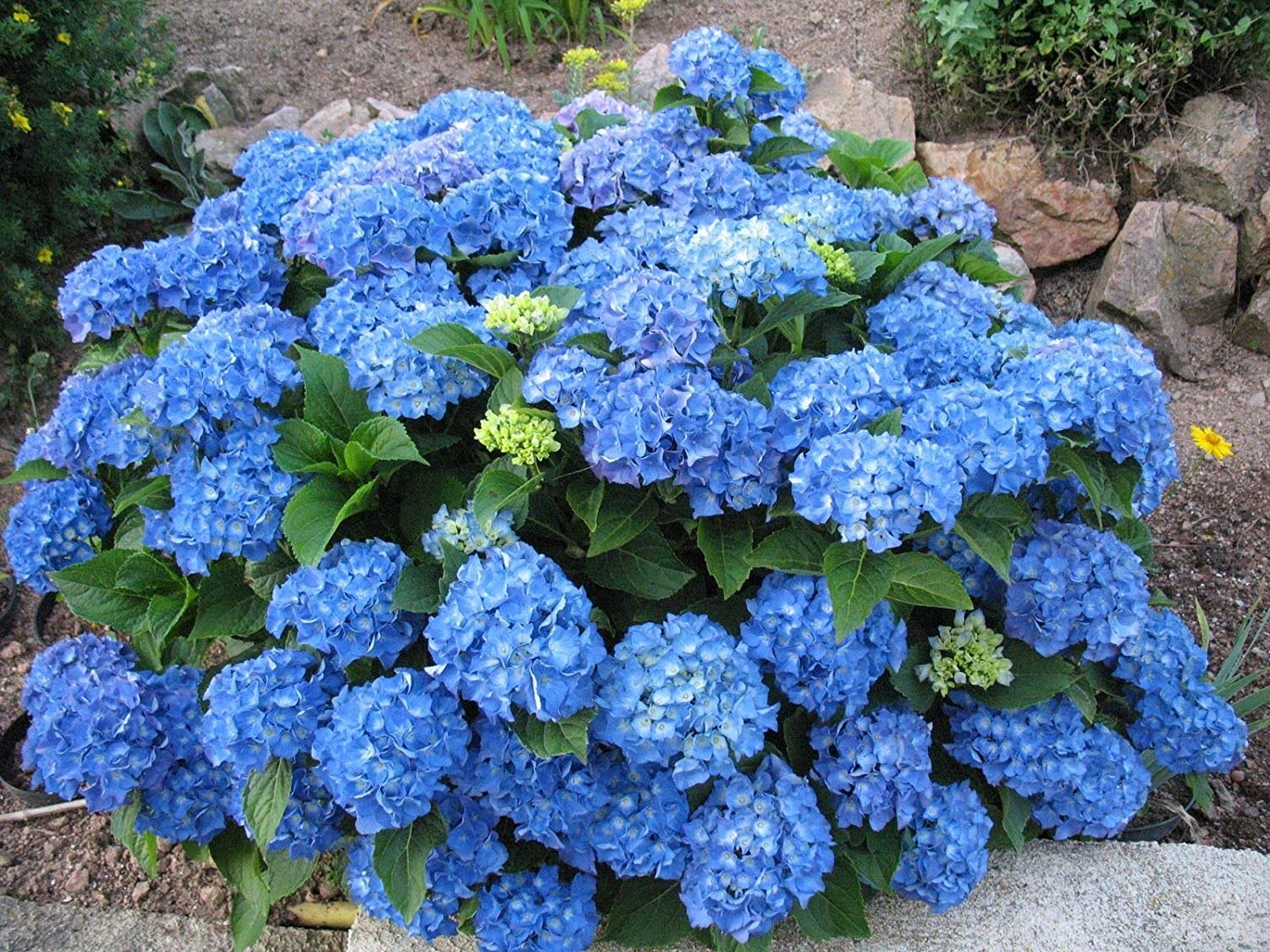 Hydrangea macrophylla Adria, 3 Plants in 9cm Pots IR Plant and Garden Centre