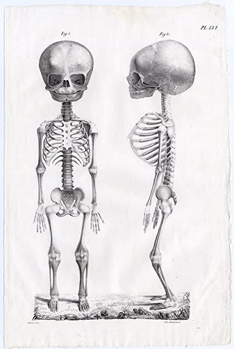 Amazon.com: Antique Print-HUMAN ANATOMY-SKELETON-BONES-CHILD-BABY ...