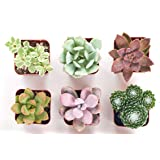Shop Succulents | Soft Hue Collection | Assortment of Hand Selected, Fully Rooted Live Indoor Pastel Tone Succulent Plants, 6