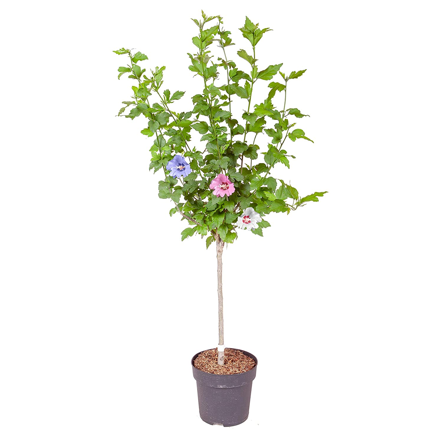 Yougarden Hibiscus Tricolour Plant 3 Colours In 1 Head Standard