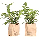 BOTANICLY | 2 × Herbs and Vegetable Plants – Tea Plant | Height: 30 cm | Camellia Sinensis