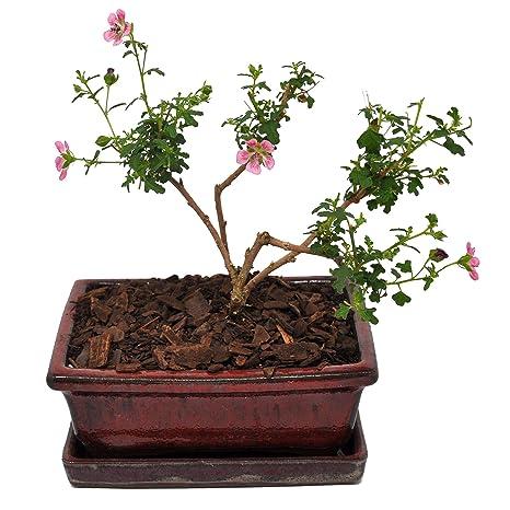 Amazoncom Anisodontea Scabrosa Hairy Mallow Miniature Hibiscus