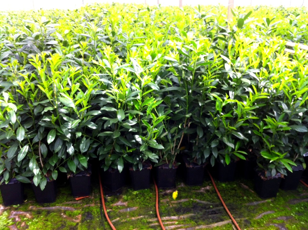 8 Stück Kirschlorbeer Heckenpflanze Novita 80cm Amazon Garten