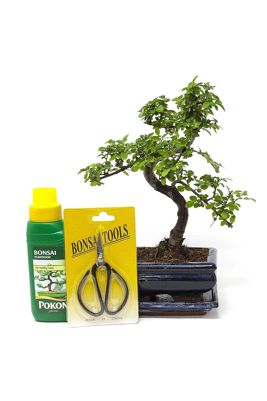 Bonsai Elm parvifolia S Style 7 yr, Gift Set - 1 Tree by Bonsai2u