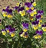 Outsidepride Viola Johnny Jump Up Plant Flower - 5000 Seeds