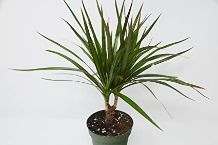 Image result for dracaena marginata