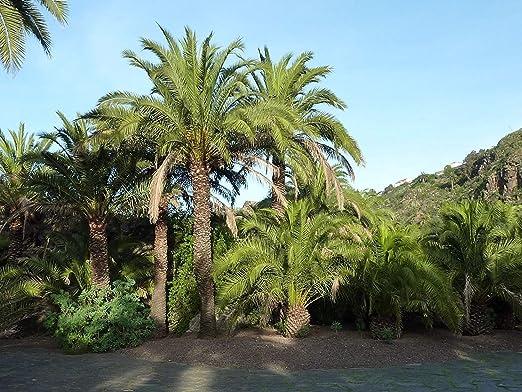Palmera Canaria (Phoenix canariensis Semillas), 10 semillas: Amazon.es: Jardín