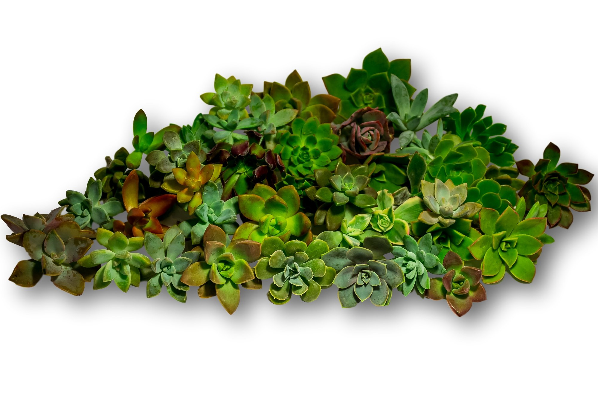45 Gorgeous All Rosette Succulent Cuttings from Fat Plants