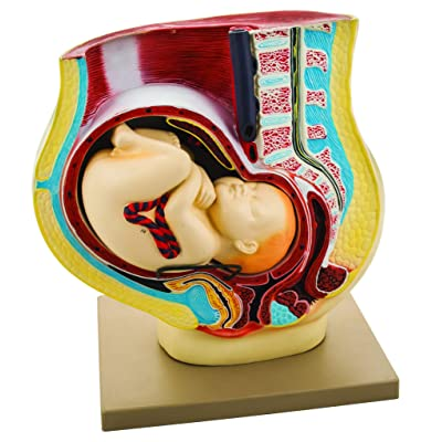 EISCO Human Pregnancy Pelvis Model with Removable Fetus, 42cm Length x 23cm Width x 42 cm Height, Hand Painted: Industrial & Scientific