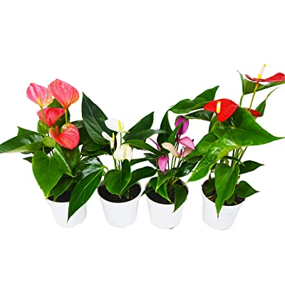 "4 Anthurium Variety Pack- All Different Colors - 4"" Pots : Garden & Outdoor"