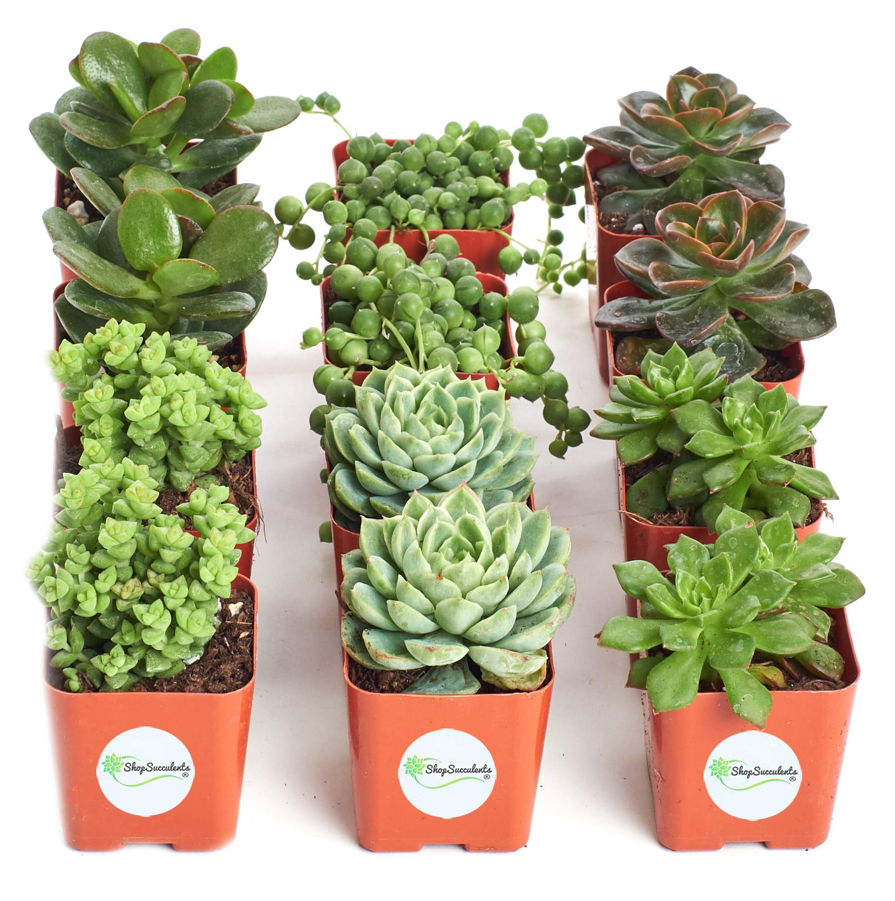 Shop Succulents | Green Live Plants, Hand Selected Variety Pack of Mini Succulents | | Collection of 12 in 2'' pots, Pack of 12 by Shop Succulents (Image #1)