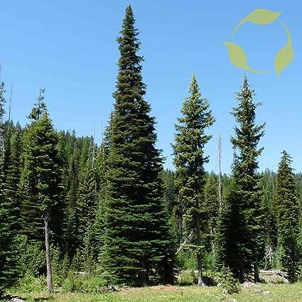 Amazoncom Alpine Fir Abies Lasiocarpa 5 Seeds Garden Outdoor