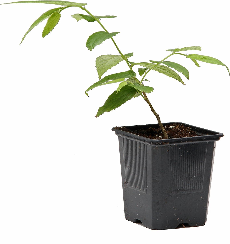 Real strawberry tree MUNTINGIA CALABURA live plant not seeds