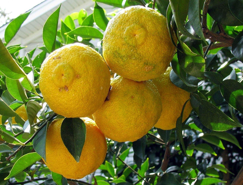 -10 /Â/° C Limonero Yuzu Planta Of Citrus Junos Portal Cool Samen Paket