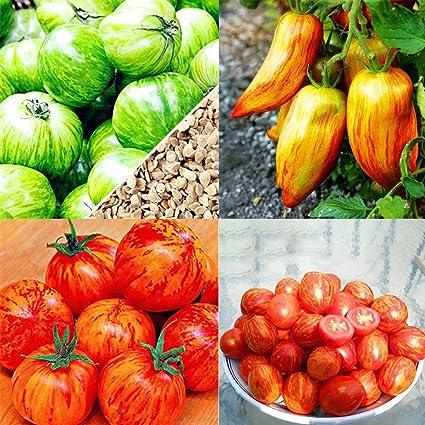 FastDirect Semillas de Tomate Amarillo 100 PCS Semillas de ...