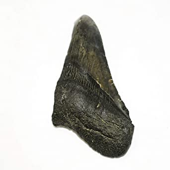 Real Megalodon Tooth Fossil Half, Mighty Sea Beast