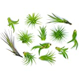 12 Air Plant Variety Pack - Small Tillandsia Terrarium Kit - Assorted Species of Live Tillandsia Tropical House Plants…