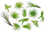 12 Air Plant Variety Pack - Small Tillandsia