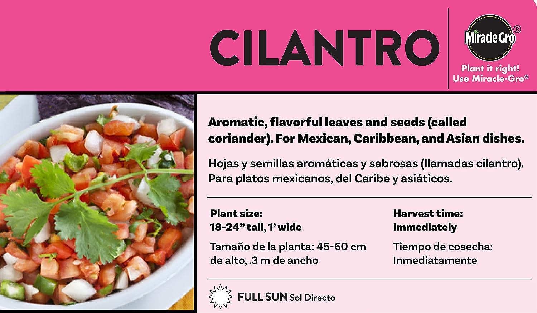Amazon.com : Bonnie Plants 4P5027 Cilantro (4), 4-PACK : Garden & Outdoor