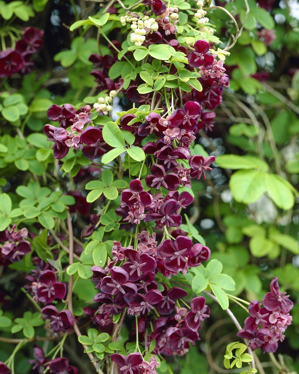 Akebia quinata chocolate vine 1 litre pot UK FREE DELIVERY