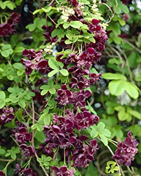 Akebia quinata chocolate vine 1 litre pot uk free delivery amazon akebia quinata chocolate vine 1 litre pot uk free delivery mightylinksfo