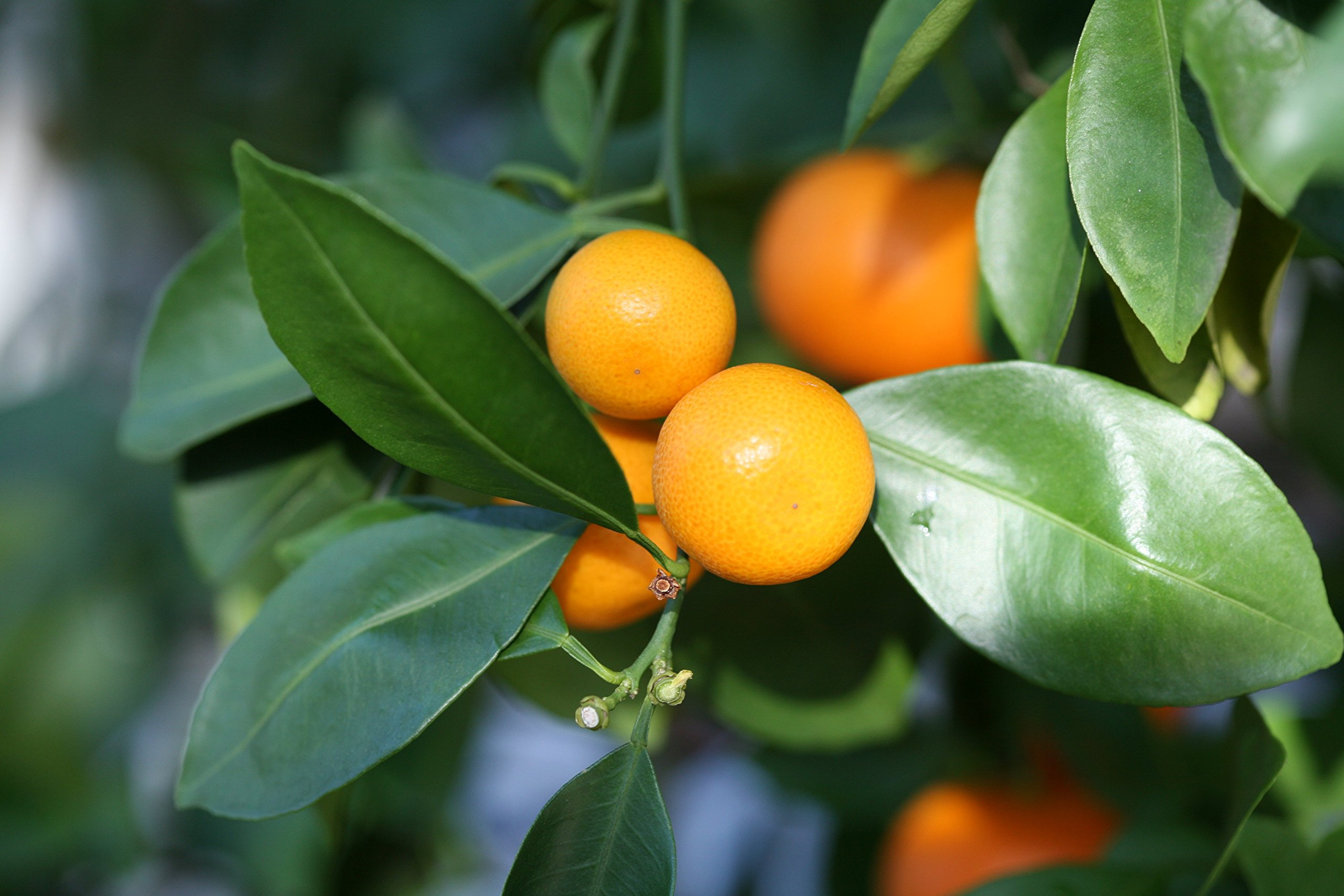 Calamondin Orange Tree - up to 6 ft. Tall Trees, Ready to Give Fruit the 1st Year by Brighter Blooms