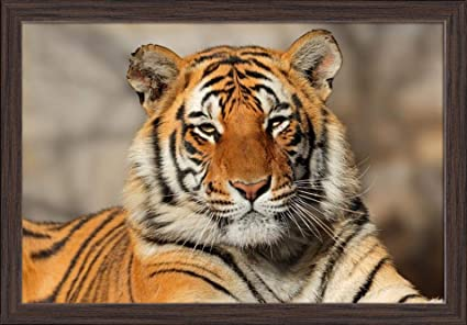 "Poster 19/"" x 13/"" Tiger Portrait"
