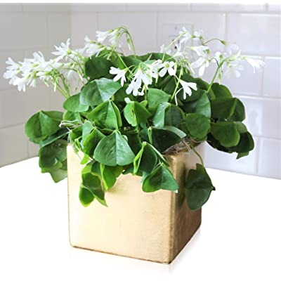 Oxalis Regnelli Pot O' Gold (Lucky Shamrocks) - Pre Planted : Flowering Plants : Garden & Outdoor