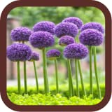 Allium Flowers Beauty