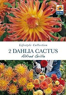 Special Cactus Dahlia /'Tahiti Sunrise/' W.P.C Prins Quality Bulbs /& Tubers