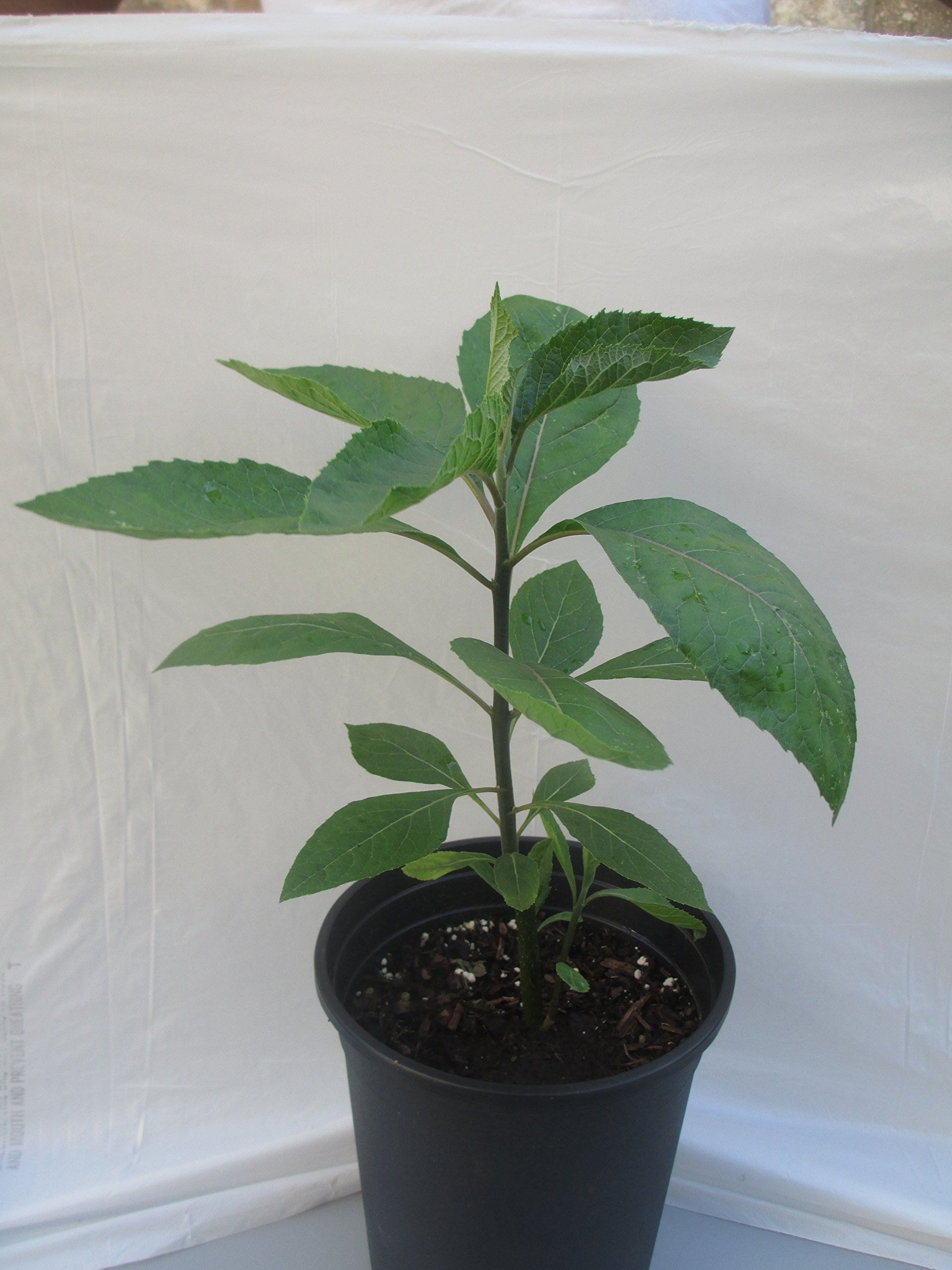 Bitter Leaf Plant – Vernonia amygdalina. Great Herbal Medicinal Health Benefits And Nutritional Value. Rich In Vitamins. Fresh Leafy Greens Vegetable Used For Soup, Stew, Tea, Salad, Juice And Drinks.