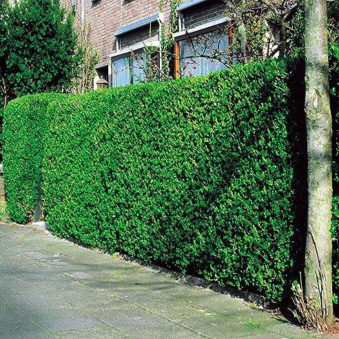Liguster Hecke - 10 Heckenpflanzen: Amazon.De: Garten
