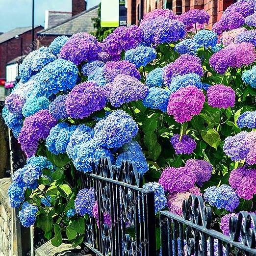 Teaio 20 Stücken Hortensien Samen Blumensamen Mehrjährig Winterhart