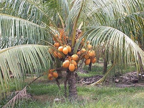 Las semillas orgánicas: 6: es ng coco germinado seed ...
