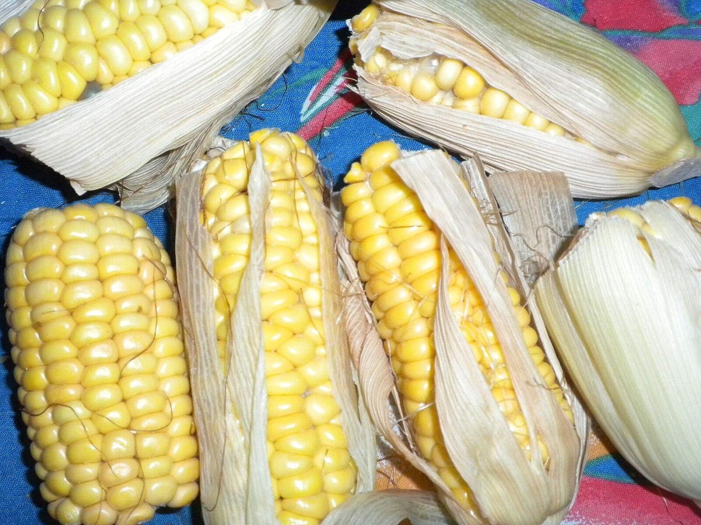 Original Package 10 Corn Seeds Waxy Corn Zea Mays Maize Organic