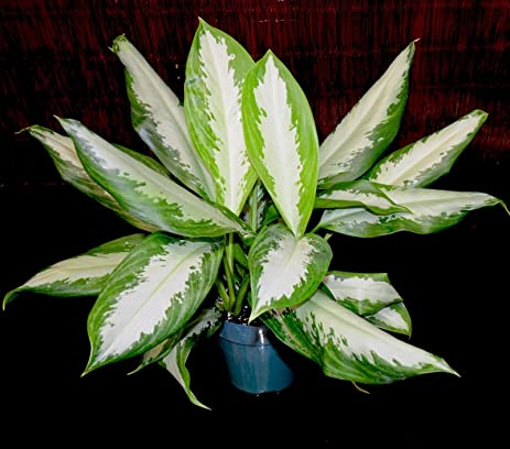 Amazon Aglaonema Silver Bay 6 Pot Chinese Evergreen Excellent