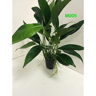Anubias congensis Mother Pot Plant M005 Live Aquatic Plant : Garden & Outdoor
