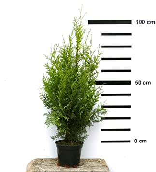 Super Hecken-Pflanze Thuja occidentalis Brabant 80-100 cm hoch - ideal  LL61
