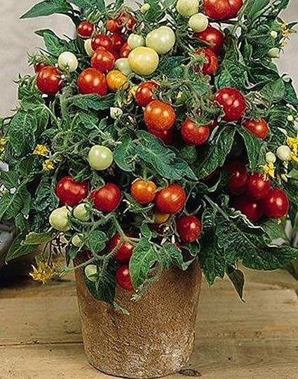 Amazon seeds red cherry tomato linda all year indoor variety seeds red cherry tomato linda all year indoor variety workwithnaturefo