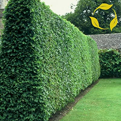 20 Seeds Privet Ligustrum Vulgare : Garden & Outdoor