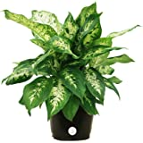 Costa Farms Dieffenbachia Exotica Dumb Cane Live Indoor Tabletop Plant in 6-Inch Grower Pot