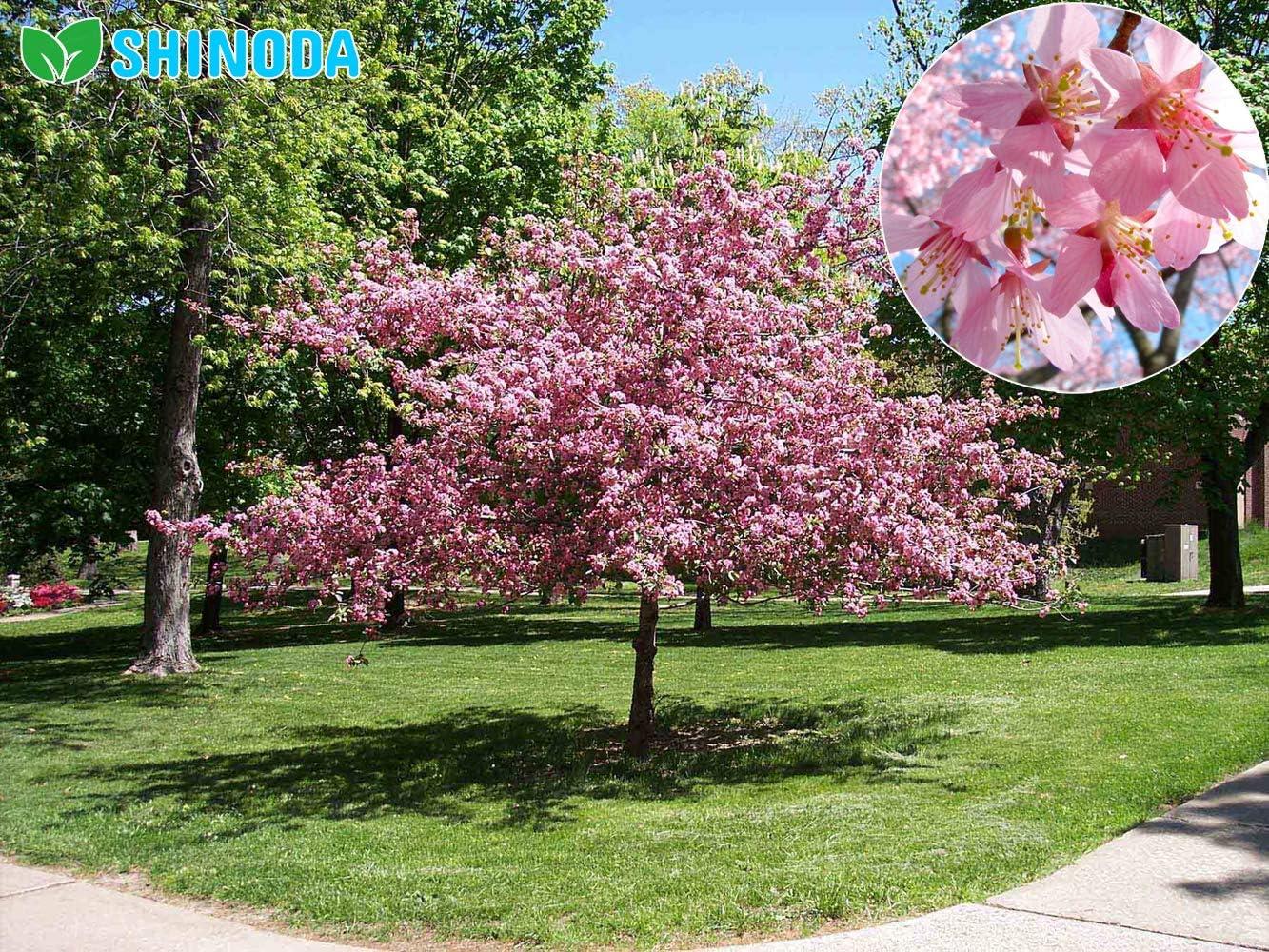 Amazon Com 1 Okame Flowering Cherry Tree Garden Outdoor